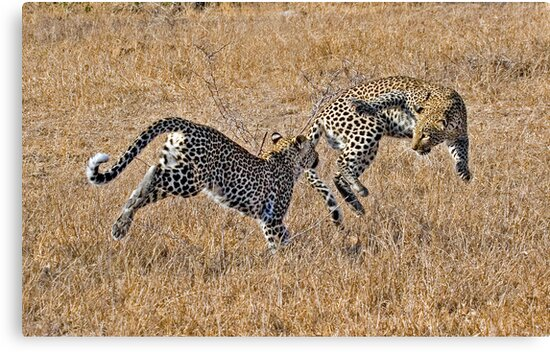 Young Female Leopards Playing by Michael  Moss