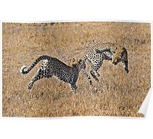 Young Female Leopards Playing Poster