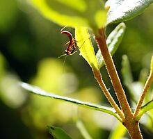 New Born Mantis - First Predators of Spring by Henry Inglis