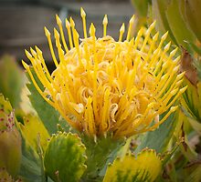 Golden Protea by ScottH