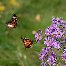 Monarchs In Flight by NewfieKeith