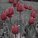 Spring Tulips by Jay Desty