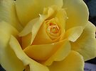 Yellow Rose by Irina777