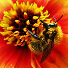 A bumblebee in a flower by Shienna