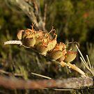 Grevillea seed pods by Alex Colcheedas