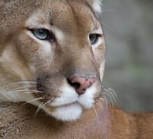 Adorable Cougar