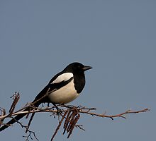 Magpie by Jon Lees