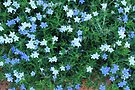 Blue Star (Lithodora diffusa) by Elaine Teague
