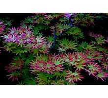 Summer Acer Photographic Print