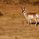 Pronghorn Pride by Scott Denny