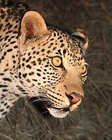 Sabi Sabi - Night Leopard by Samantha Bailey