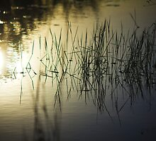 Reeds Reflected  by bcboscia410