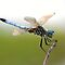 ITEM CHALLENGE # 5 ODONATA (DRAGONFLIES and DAMSELFLIES)