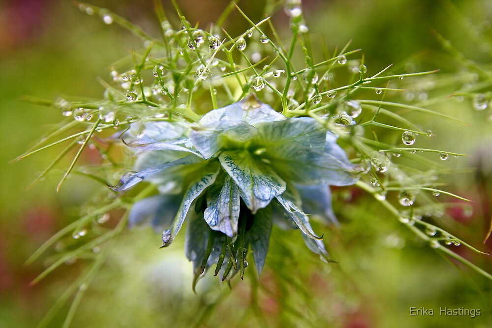 Rain Drops on a Blue Flower by Erika  Hastings