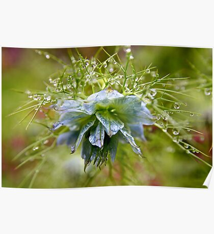 Rain Drops on a Blue Flower Poster