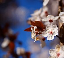 White Cherry Blossoms by Erika  Hastings