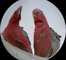 YOU  CALLIN US GALAHS ? by Rocksygal52
