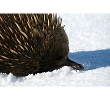 Echidna Sniffles Photographic Print