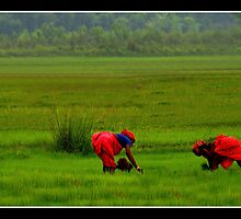 Paddy Plantation by J.N. SINGH