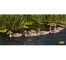 5 Cygnets Photographic Print
