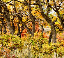 Gambel Oak - Uncompahgre Plateau Colorado by Susan Humphrey