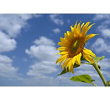 Sunflower - A Tribute to the Lockyer Valley Photographic Print
