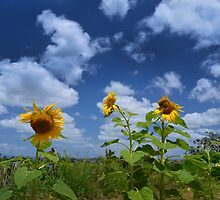 Sunflower Glory by Kate Wall