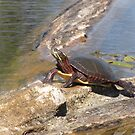 Painted Turtle by caybeach