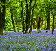Bluebell Woods by Brian Roscorla