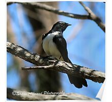 Willie Wagtail Poster