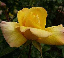 Rose Garden 10 by beeden