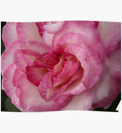Rose Garden 11 Poster