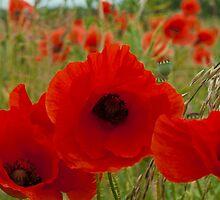 Poppys  by ANDREW BARKE