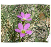 Violet Wood Sorrel - Oxalis violacea Poster
