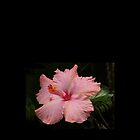 Pink Hibiscus iPhone Case by Ginny York