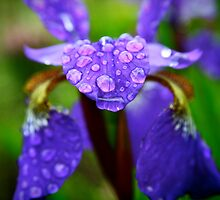Rain Drops on a Purple Iris by Erika  Hastings