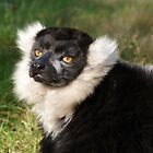 Black and White Ruffed Lemur by John Dunbar