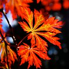 Maple Leaves on Fire by Erika  Hastings