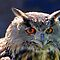 Eagle Owl  Close Up by vette