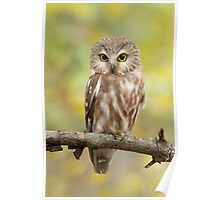 Northern Saw-whet Owl Perching Pretty. Poster