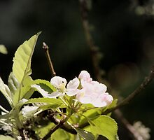 apple blossoms 9 by Dawna Morton