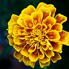Golden Marigold by djmayhem