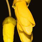 i-Kowhai flower by Belinda Osgood