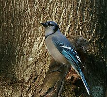 Blue Jay on a Limb by eaglewatcher4