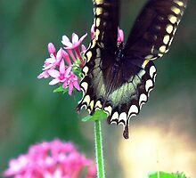 Black swallowtail by ♥⊱ B. Randi Bailey