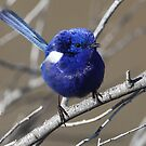 ''White-winged Fairy Wren'' by bowenite