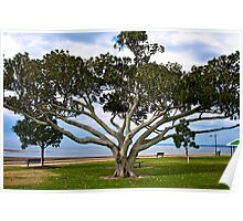Moreton Bay Fig Tree at Wellington Point Poster