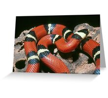 Banded King Snake - Mexico Greeting Card