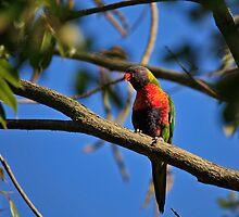 Australian Rainbow Lorikeet by Sea-Change