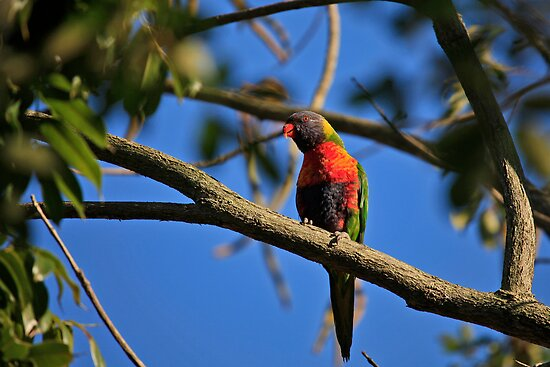 Australian Rainbow Lorikeet by Sea-Change